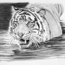 Day 12, Sumatran Splash, tiger, graphite drawing by artist Michael Brugh