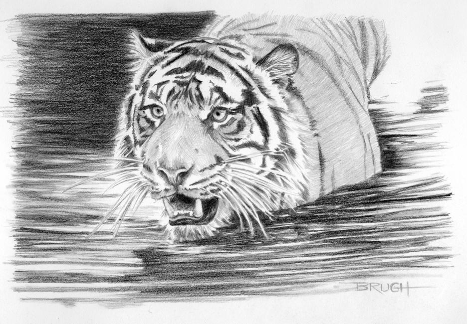 Day 12, Sumatran Splash, tiger, graphite drawing by artist Michael Brugh