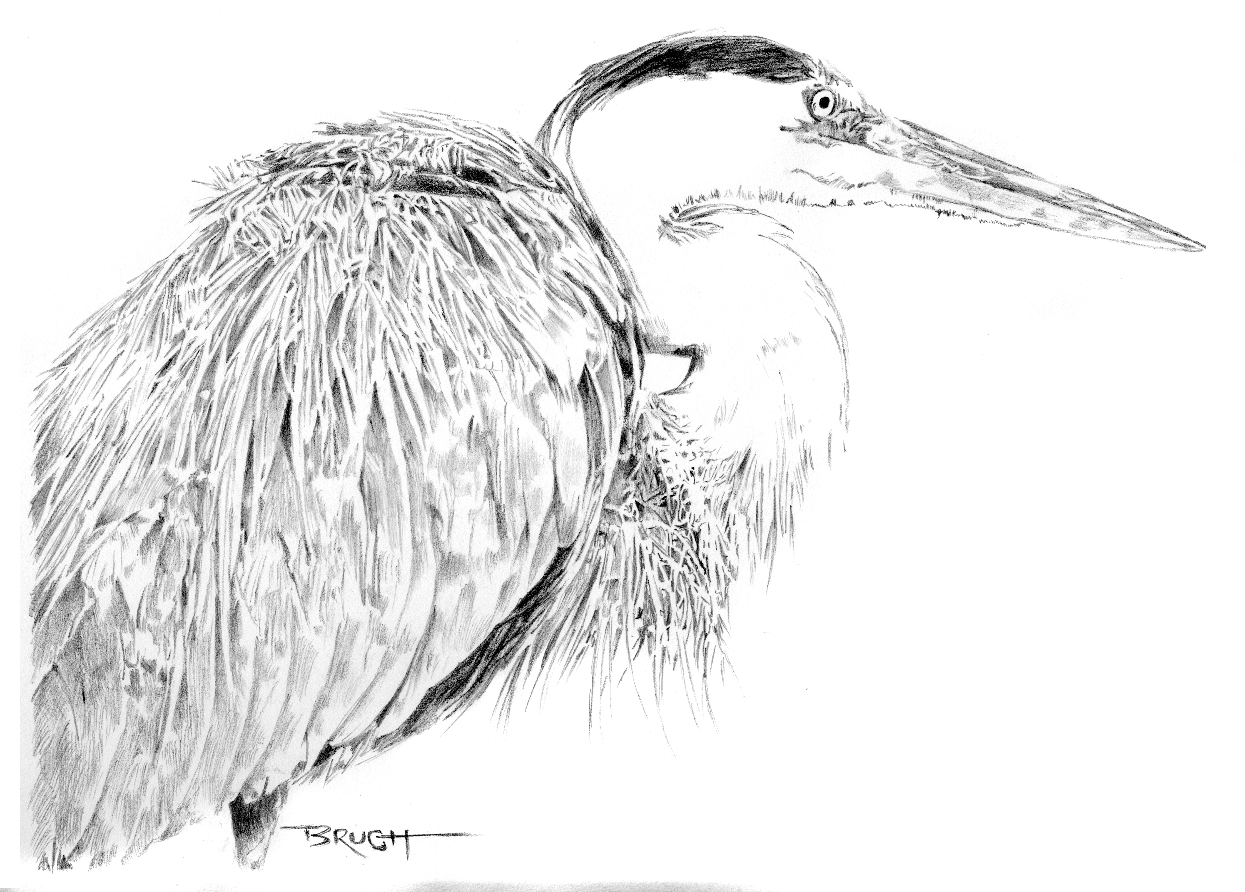 Day 29 - Great Blue Heron - graphite sketch by artist Michael Brugh