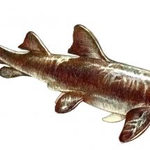 m-nurse-shark