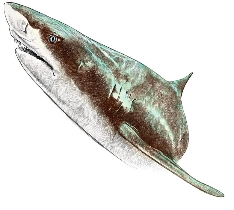 Lemon shark, graphite